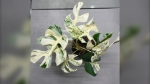 An image of the Variegated Minima. (Source: TradeMe.co.nz)