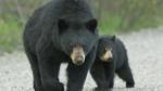 Bears in the 'burbs