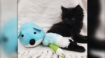 A seven-week-old kitten, Ivy, is recovering after being thrown out of a vehicle, according to the B.C. SPCA. (Handout)