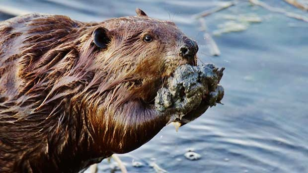 Captured this beaver by the river last night. Photo by Dylan Bertholet.