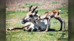 The Calgary Zoo welcomed a woodland caribou calf this week into its enclosure with wide ground to run. (Calgary Zoo)