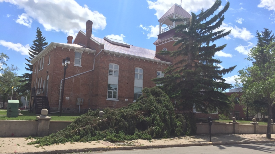 This tree was one of many in Prince Albert blown over during a storm on June 16, 2021. (Lisa Risom/CTV Prince Albert)