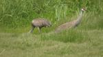 Sandhill cranes as seen at Panama Flats in Saanich: June 16, 2021 (CTV News)