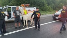 Llama found on Highway 400 was a bit of a surprise. (Courtesy: OPP)