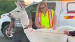 Ontario police capture lost llama wandering on hig