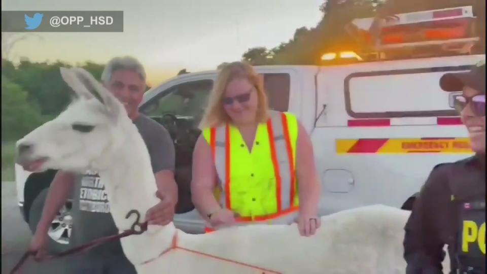Llama found on Highway 400