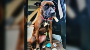 A dog on Vancouver Island is now safe at home days after it was separated from its owner as the two ran from a violent attack near downtown Victoria. THE CANADIAN PRESS/HO-Victoria Police Services