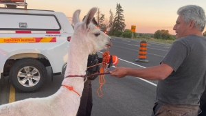 A man holds onto a white llama found wandering along Highway 400, near King City, Ont. on Wed. June 16, 2021 (OPP/Twitter)