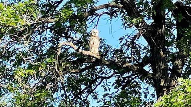 Great Horned Owl in St Charles. Photo by Paul Schroeder.