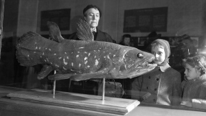 """This image provided by Marc Herbin shows the development stages of the coelacanth fish. The """"living fossil,"""" still around from the time of the dinosaurs, can live for 100 years, according to a study released in the Thursday, June 17, 2021 edition of Current Biology. And for females it may seem longer because scientists calculate that the live-birth bearing fish stays pregnant for five years. (Marc Herbin/MNHN via AP)"""