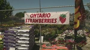 Strawberry season in southern Ontario