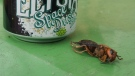 The Asian giant hornet was found in Marysville, Washington. (Washington State Department of Agriculture/CNN)