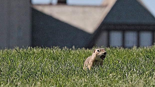 This ground squirrel in Assiniboine Park. Photo by Allan Robertson.