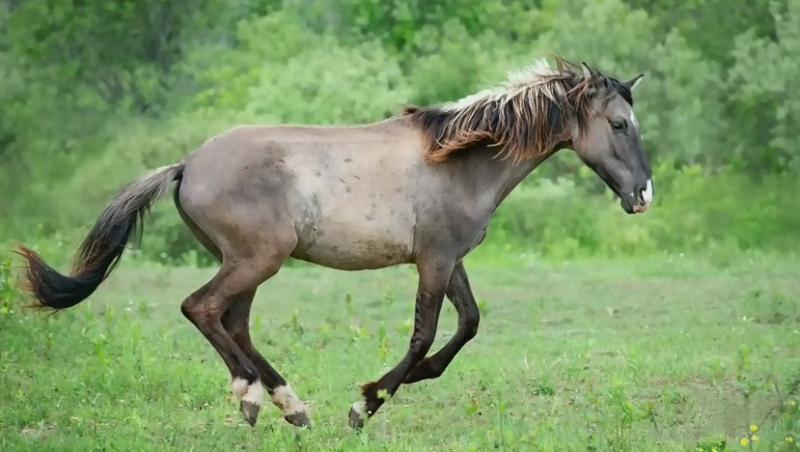 Saving the Ojibwe spirit horses