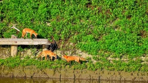 Morning coffee and three foxes on the Assiniboine. Photo by Gary Toews.