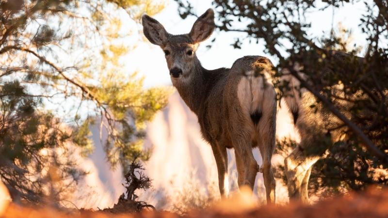 A female mule deer is seen in an image from Shutterstock.com