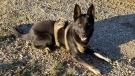 Jago, a RCMP service dog, was killed in the line of duty near High Prairie, Alta. on June 17, 2021 (Town of High Prairie/Facebook)