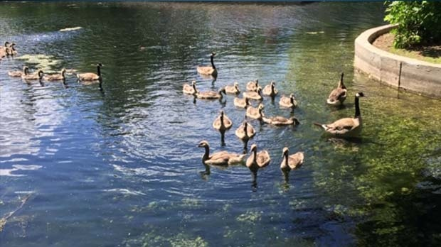 Geese enjoying the duck pond at Assiniboine Park. Photo by Adele Walker.