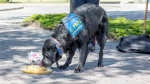 Hawk, Calgary's first victim assistance dog, enjoys a treat a retirement party held Friday in his honour. (Calgary police handout)