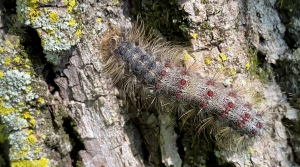 Gypsy Moth caterpillars are known by their blue and red dots and skin-irritating hairy back hatched by the millions across Ontario this spring. Ottawa, On. June 17, 2020. (Tyler Fleming/CTV News Ottawa)