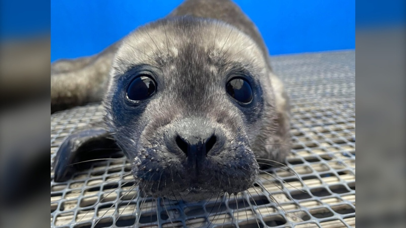 A harbour seal pup named Sushi is seen in this photo from the Vancouver Aquarium's Marine Mammal Rescue Centre
