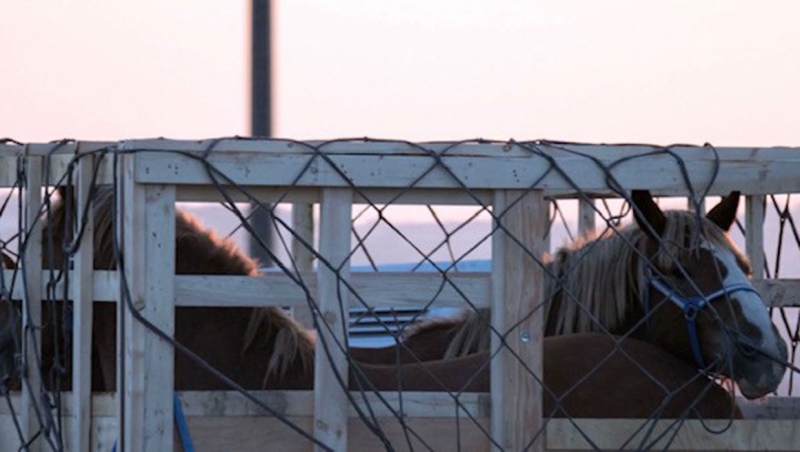 Horses in crates getting ready to be shipped off to Asia. Animal rights groups are fighting against the practice, saying the animals are treated inhumanely.