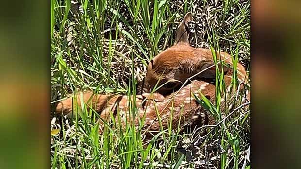 Baby fawn. Photo by RoseEllen Graydon.
