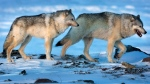 Wolves roam the tundra near the Meadowbank Gold Mine in the Nunavut on Wednesday, March 25, 2009. A new study says killing wolves in Western Canada to save endangered caribou populations hasn't stopped the decline. THE CANADIAN PRESS/Nathan Denette