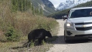 Parks Canada says it is unlawful and dangerous for the public to feed wildlife, including bears, as seen in this 2014 handout photo taken by Parks Canada workers along the Icefields Parkway.