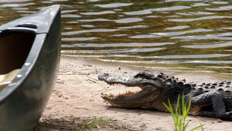 In this Aug 2, 2007 file photo, an alligator hangs around the canoes at Okefenokee Adventures at the entrance to the Okefenokee Swamp in Charlton County, Ga. (Chris Viola/The Florida Times-Union via AP, File)