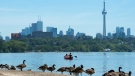 Canadian Geese watch on the beach as people paddle in a canoe on Lake Ontario in Toronto on Monday, July 15, 2019. THE CANADIAN PRESS/Nathan Denette