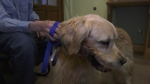 After a visit to the vet in Timmins it was determined that the impact was enough to break Hunter's jaw so he needed surgery.  Hunter's owner, Al Corbould, believes the dog was kicked in the jaw by a Moose protecting her calf. June 19/21 (Lyndsay Aelick/CTV News Northern Ontario)