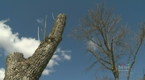 Winnipeg to begin ash borer treatments