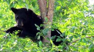 Bear sighting in Pinawa. Photo by Rod Myskiw.