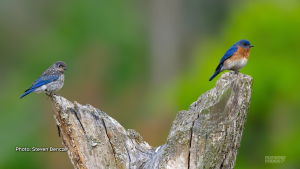 Eastern bluebirds - Dad on the right and baby on the left. (Steven Bencze/CTV Viewer)