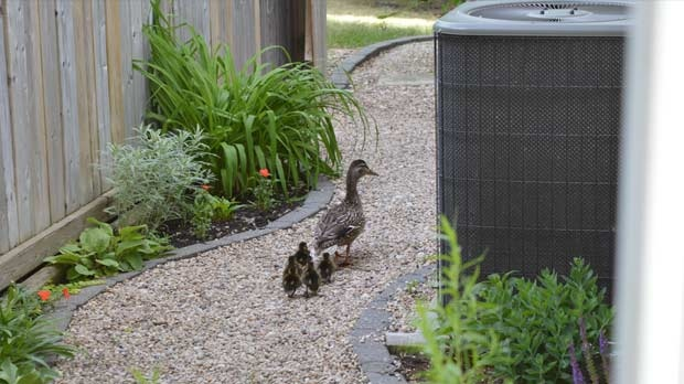 Five newly hatched ducks near the Seine River. Photo by Elaine Hoogland.