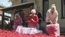 Cambridge Poppy Project blossoms