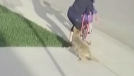 City will euthanize coyote
