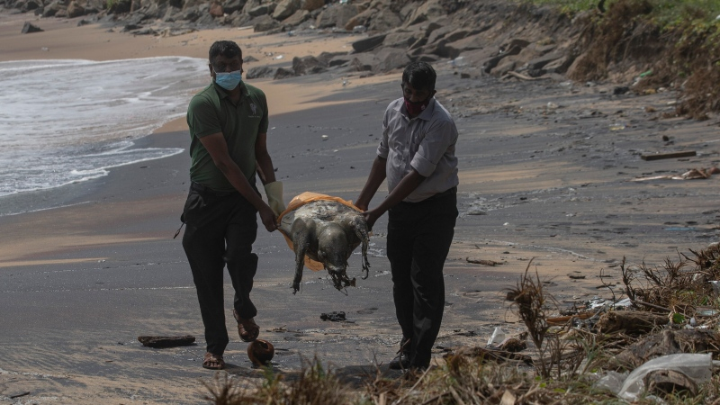Sri Lankan wild life workers remove decomposed remains of a turtle lies on a beach polluted following the sinking of a container ship that caught fire while transporting chemicals off Kapungoda, outskirts of Colombo, Sri Lanka, Monday, June 21, 2021. (AP Photo/Eranga Jayawardena)