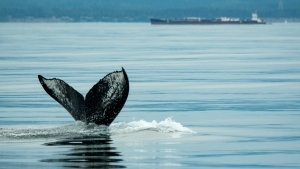 A young humpback whale in the Strait of Juan de Fuca near Victoria in June 2021. (April Ryan/Pacific Whale Watch Association)