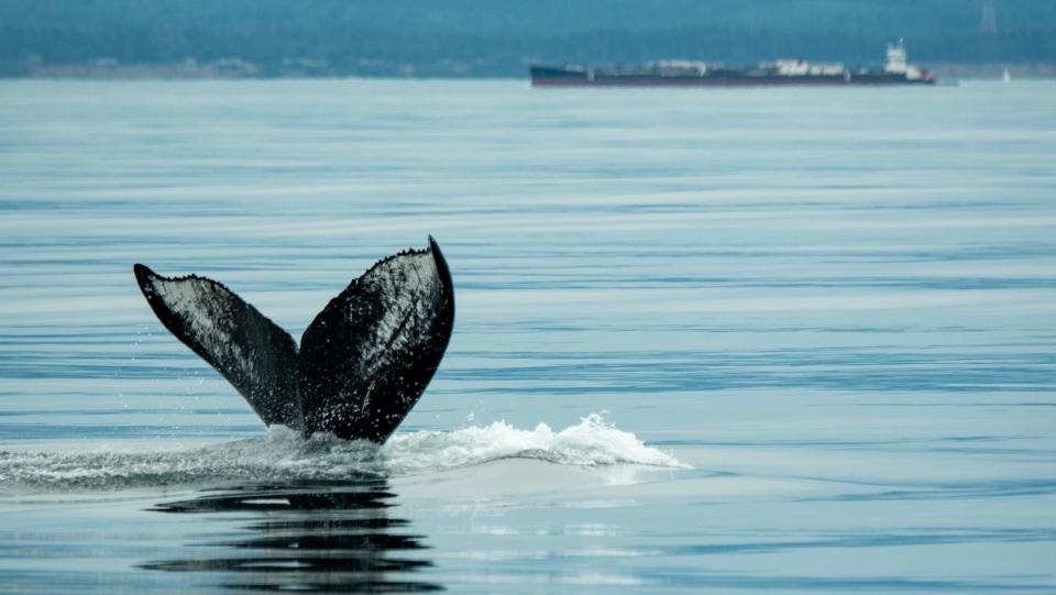 Humpback whale Victoria