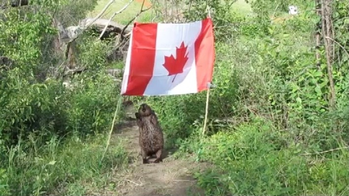 Mike Digout has captured a one of a kind video of a beaver standing underneath a Canadian flag near the Meewasin Trail. (Mike's Videos of Beavers/YouTube)