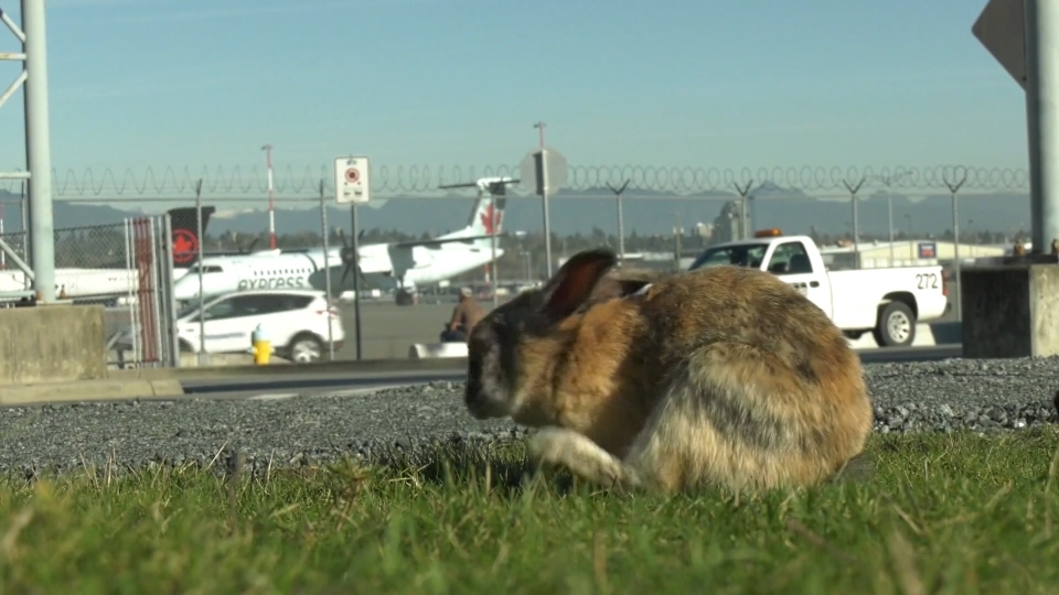 Rabbit cull at yvr