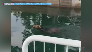 Caught on camera: A moose swam through the locks at Sault Ste. Marie Canal National Historic Site from Lake Superior to Lake Huron. (Tourism Sault Ste. Marie)