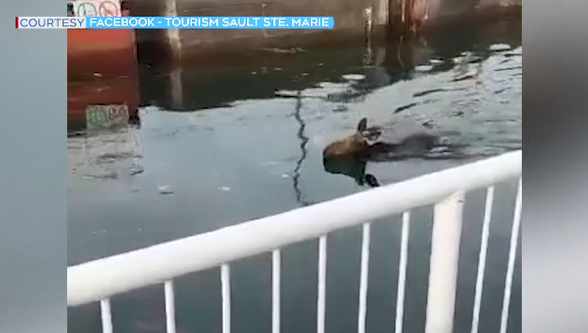 Moose swimming in Sault Ste. Marie Canal