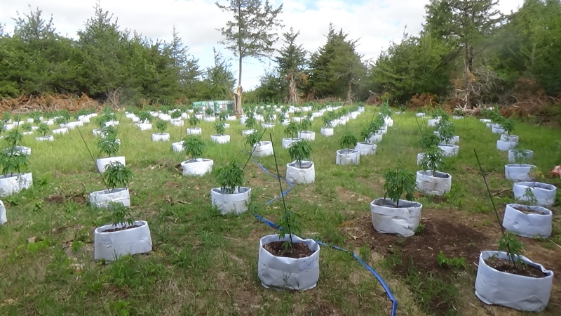 Ontario Provincial Police say officers seized more than 2,000 cannabis plants from a rural property north of Belleville, Ont. Tues. June 22, 2021. (Photo submitted by the Ontario Provincial Police)