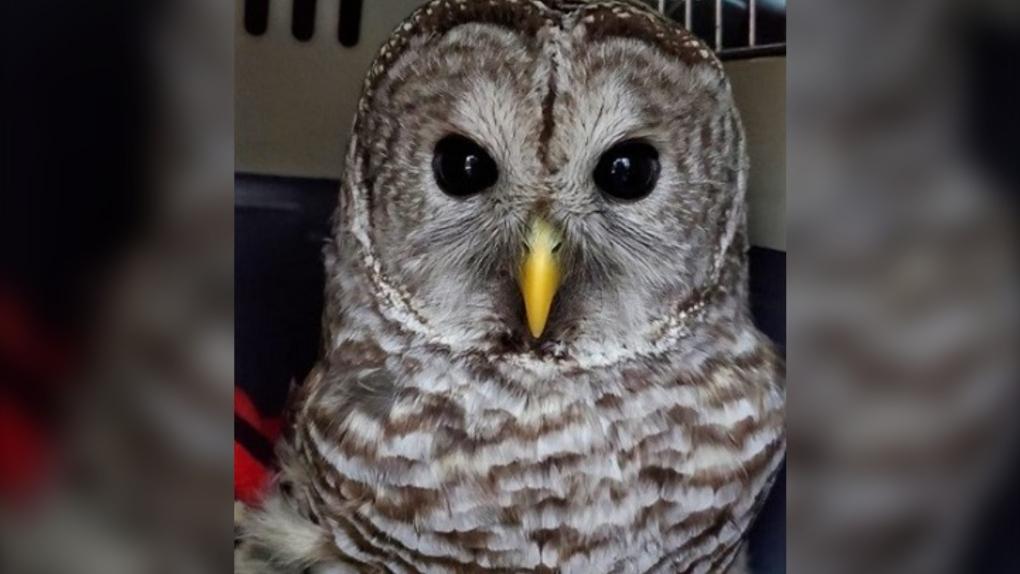 B.C. owl rescue