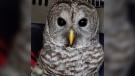 Highway patrol Mounties near Hope, B.C., helped rescue an injured owl in September 2020. (BC Highway Patrol)