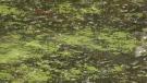 blue green algae beaver lake