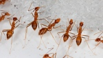 In this photo provided by the U.S. Fish and Wildlife Service, yellow crazy ants are seen in a bait testing efficacy trial at the Johnston Atoll National Wildlife Refuge in December, 2015. (Robert Peck/U.S. Fish and Wildlife Service via AP)